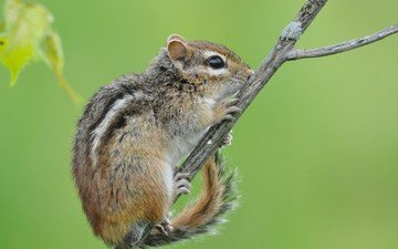 branch, background, animal, chipmunk, rodent