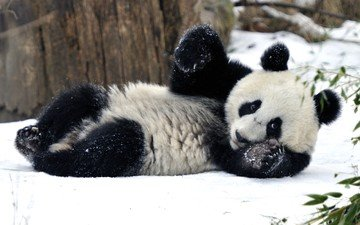 снег, зима, панда, бамбуковый медведь
