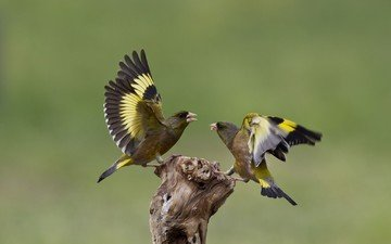 nature, birds, goldfinch, goldfinches, fight