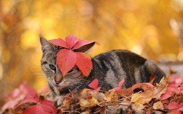 листья, кот, кошка, осень, полосатый