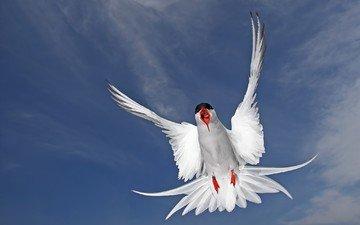полет, крылья, чайка, птица, перья, полярная крачка