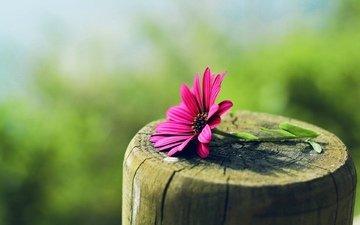 макро, цветок, розовый, пенек, гербера