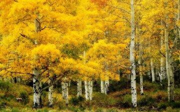 пейзаж, березы, осень, роща