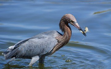 water, bird, beak, feathers, fish, heron