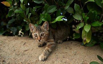 зелень, кошка, взгляд, котенок, куст, полосатый