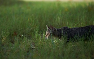 grass, cat, hunting