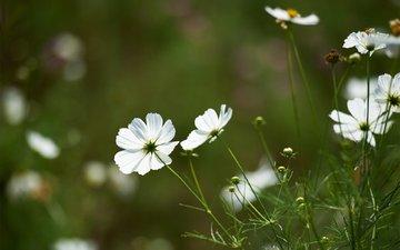 цветы, зелень, поле, белая, космея