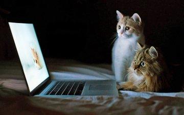 кошки, ноутбук