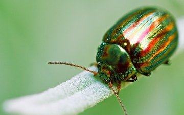 green, beetle, macro, insect, golden