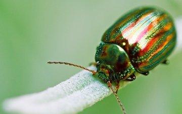 зелёный, жук, макро, насекомое, золотистый