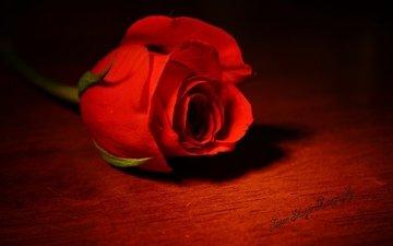 цветок, роза, красный, одна, королева цветов