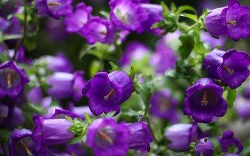 цветы, фокус камеры, лепестки, колокольчики, фиолетовые