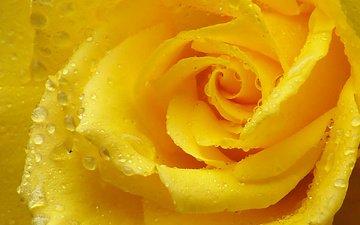 макро, капли, роза, лепестки, желтая роза