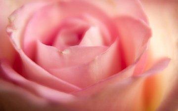 макро, цветок, роза, лепестки