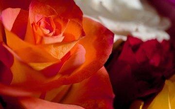 цвета, макро, розы, роза, лепестки, букет