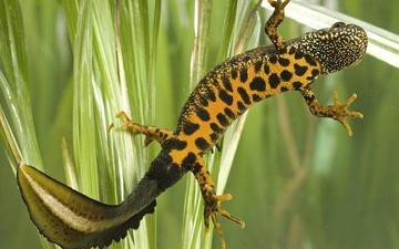 lizard, gecko, fauna, reptiles, triton