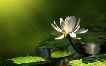 кувшинка, нимфея, водяная лилия