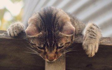кот, кошка, серый, любопытство, полосатый