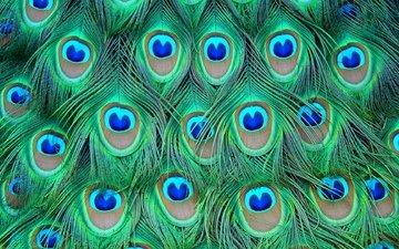 перья, цветные, павлина