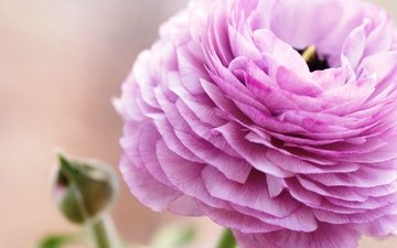 flower, petals, pink, ranunculus, buttercup