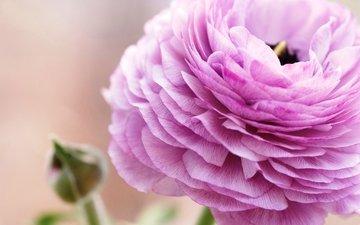 цветок, лепестки, розовый, ранункулюс, лютик