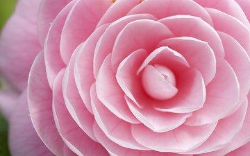 цветок, лепестки, розовые, камелия
