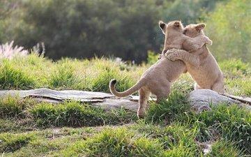 борьба, игра, пара, дикие кошки, малыши, львята, детеныши