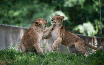борьба, игра, пара, дикие кошки, малыши, львята, хищники, драка, детеныши