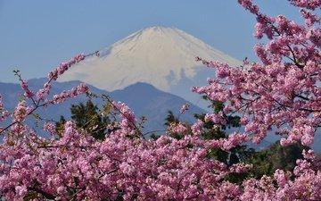 цветение, гора, сакура, вулкан, японии, фудзияма, гора фудзи