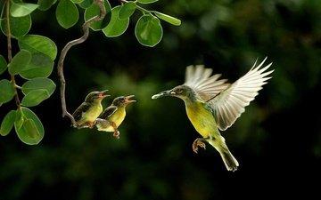 птица, колибри