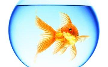вода, аквариум, золотая рыбка, круглый, плавает