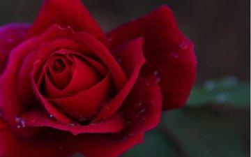 flower, rose, bright.