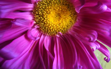 цветок, крупный план, астра, садовый