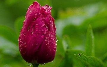 macro, drops, tulip