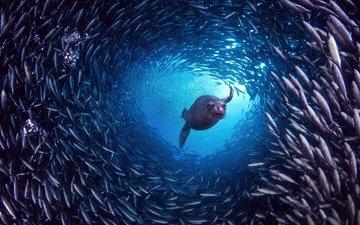 вода, природа, океан, под водой, охота, рыба, косяк, морской котик, галапагосы, пузырки.