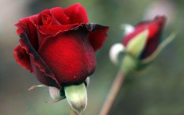 цветы, космос, макро, фото, звезды, розы, фэнтези, планеты