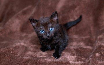 котенок, черный, малыш, грустит, голубоглазый