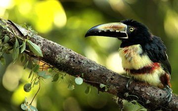 ветка, листики, птичка, размытый фон, ошейниковый арасари