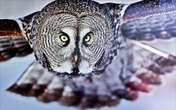 сова, полет, взгляд, птица, бородатая неясыть