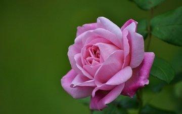 макро, роза, лепестки, бутон