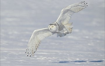 snow, winter, wings, snowy owl, white owl