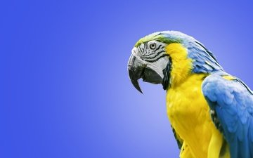 птица, попугай, ара, сине-жёлтый ара