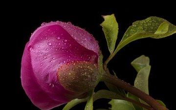цветок, капли, бутон, темный фон, розовый