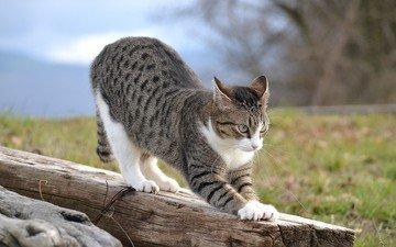 кошка, на, потягивается, бревне