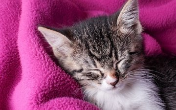 sleeping kitten, pink blanket, sweet dreams