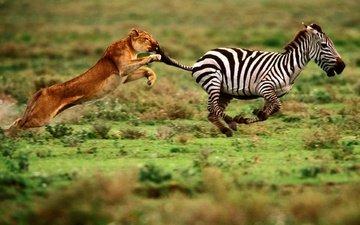 зебра, еда, скорость, хищник, мощь, охота, львица, ловкость, преследование