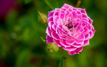 зелень, цветок, роза, бутон, розовая, каёмка