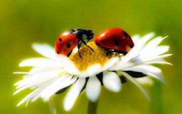 ромашка, насекомые, красивые, супер