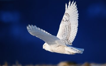 white owl, flying