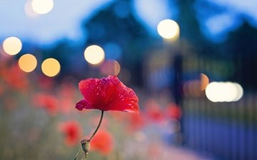 цветок, мак, огоньки, боке